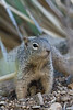 Rock Squirrel<br /> Pima County, Arizona.