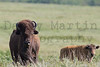Bison cow & calf<br /> Maxwell State Wildlife Area, Kansas