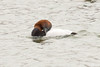 Canvasback-3511