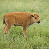 Bison calf in the rain