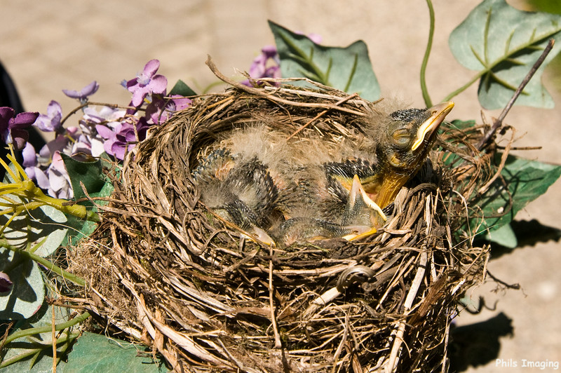 Robins in their nest.  The nest is on a wreath on the front door of Connie's cousin home in Bay City.  May 16