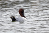 Canvasback-3543