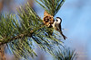 "<a href=""http://en.wikipedia.org/wiki/Black-capped_Chickadee"">Black-capped Chickadee</a>"