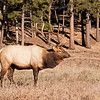 Bull elk near Deer Mountain