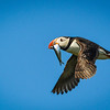 Fly By....Isle of May, Scotland, Puffin