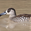 Pink Eared Duck, Eyre Creek, Boulia, Western Queensland
