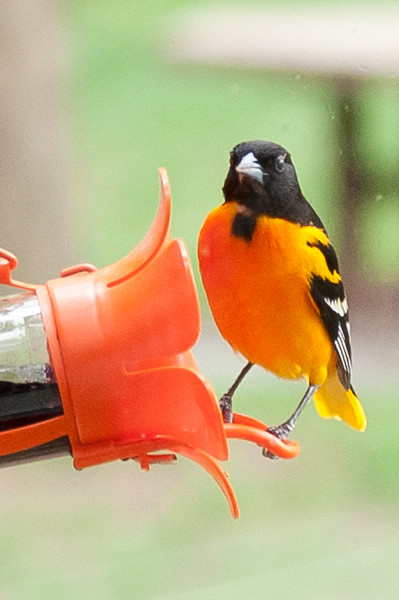 Male Baltimore Oriole