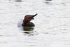 Canvasback-3535