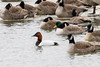 Canvasback-3492
