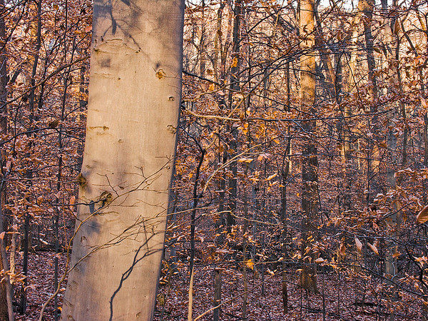 The low angles of the winter sun catch the gleaming gray trunks of American beech (Fagus americana) while a dusting of snowflakes decorates the marsecent beech leaves.