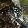 Hairy Woodpecker female splashing