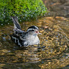 Black and White Warbler in the water