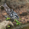 Black and White Warbler checking out the water