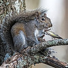 Squirrel eating a Pine Siskin
