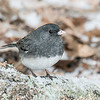 Junco in the snow 2 Feb 2013