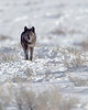 This photograph of a wolf (889F) was captured in Yellowstone National Park, Wyoming (1/14). This photograph is protected by the U.S. Copyright Laws and shall not to be downloaded or reproduced by any means without the formal written permission of Ken Conger Photography.