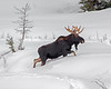 This photograph of a Moose with snowballs on his bell was captured in Yellowstone National Park, Wyoming (1/14). This photograph is protected by the U.S. Copyright Laws and shall not to be downloaded or reproduced by any means without the formal written permission of Ken Conger Photography.