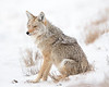 This photograph of a Coyote was captured in Yellowstone National Park, Wyoming (1/14). This photograph is protected by the U.S. Copyright Laws and shall not to be downloaded or reproduced by any means without the formal written permission of Ken Conger Photography.