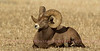 Rocky Mountain Big Horn Sheep-Male