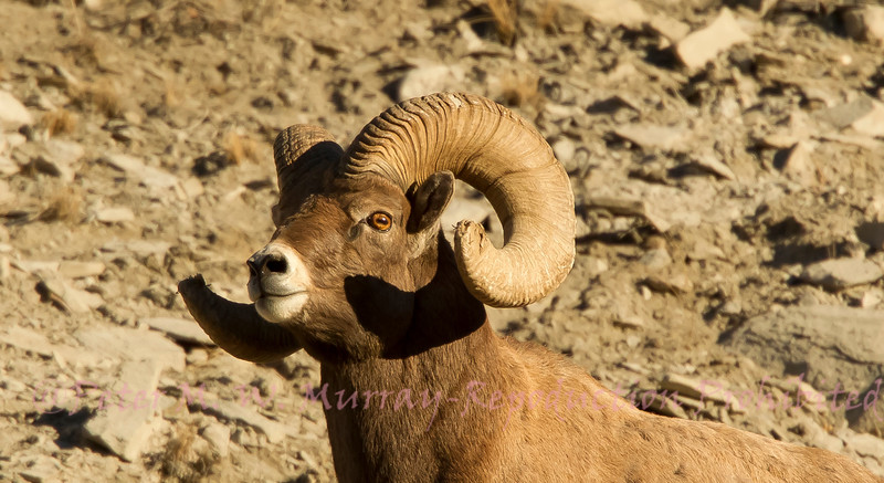 Eye of the Big Horn Sheep.