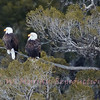 Bald Eagle pair  out on a limb.