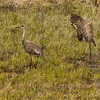 Sand Hill Cranes on Black Tail Pond area