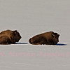 Bison napping on Black Tail Pond