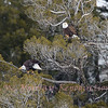 Bald Eagles above the Bison Carcass