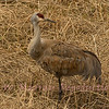 Sand Hill Crane closeup