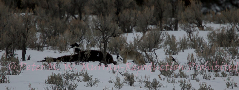 Coyote on Bison Carcass