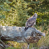 Juvenile Bald Eagle on The Snake River-2_20140913