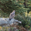 Juvenile Bald Eagle on The Snake River-1_20140913