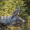 Juvenile Bald Eagle on The Snake River-3_20140913