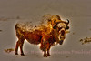 Legacy Bison. Sort of reminds me of the icon Bison that roamed so freely once upon a time.