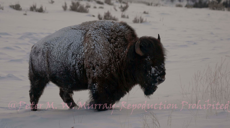 Snow crusted Bison near Floating Island Pond.