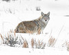 "This photograph of a Coyote was captured in Yellowstone National Park, Wyoming (1/15). <FONT COLOR=""RED""><h5>This photograph is protected by the U.S. Copyright Laws and shall not to be downloaded or reproduced by any means without the formal written permission of Ken Conger Photography.<FONT COLOR=""RED""></h5>"