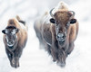 """This photograph of an approaching herd of Bison was captured in Yellowstone National Park, Alaska (1/15). <FONT COLOR=""""RED""""><h5>This photograph is protected by the U.S. Copyright Laws and shall not to be downloaded or reproduced by any means without the formal written permission of Ken Conger Photography.<FONT COLOR=""""RED""""></h5>"""