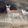 "This photograph of a Pronghorn was captured in Yellowstone National Park, Wyoming (1/15). <FONT COLOR=""RED""><h5>This photograph is protected by the U.S. Copyright Laws and shall not to be downloaded or reproduced by any means without the formal written permission of Ken Conger Photography.<FONT COLOR=""RED""></h5>"