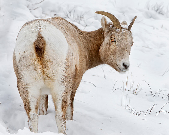 "This photograph of a Bighorn Sheep was captured in Yellowstone National Park, Alaska (1/15). <FONT COLOR=""RED""><h5>This photograph is protected by the U.S. Copyright Laws and shall not to be downloaded or reproduced by any means without the formal written permission of Ken Conger Photography.<FONT COLOR=""RED""></h5>"