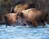 """This photograph of a herd of Bison crossing a creek was captured in Yellowstone National Park, Alaska (1/15). <FONT COLOR=""""RED""""><h5>This photograph is protected by the U.S. Copyright Laws and shall not to be downloaded or reproduced by any means without the formal written permission of Ken Conger Photography.<FONT COLOR=""""RED""""></h5>"""
