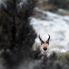 """This photograph of a Pronghorn was captured in Yellowstone National Park, Wyoming (1/15). <FONT COLOR=""""RED""""><h5>This photograph is protected by the U.S. Copyright Laws and shall not to be downloaded or reproduced by any means without the formal written permission of Ken Conger Photography.<FONT COLOR=""""RED""""></h5>"""