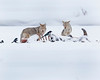 """This photograph of a pair of Coyotes feeding on a Bison kill was captured in Yellowstone National Park, Wyoming (1/15). <FONT COLOR=""""RED""""><h5>This photograph is protected by the U.S. Copyright Laws and shall not to be downloaded or reproduced by any means without the formal written permission of Ken Conger Photography.<FONT COLOR=""""RED""""></h5>"""