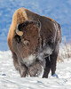 """This photograph of a Bison was captured in Yellowstone National Park, Alaska (1/15). <FONT COLOR=""""RED""""><h5>This photograph is protected by the U.S. Copyright Laws and shall not to be downloaded or reproduced by any means without the formal written permission of Ken Conger Photography.<FONT COLOR=""""RED""""></h5>"""