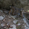 Bobcat on the John Muir Trail