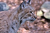 The Bobcat (lynx rufus) is a North American lynix or wild cat. Its range includes parts of Canada, Mexico and the United States. Though it faces many challenges, the Bobcat is a survivor that has adapted well and lives in habitats rangingi from woods to deserts to swamplands and near towns.