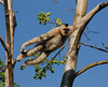The White-handed Gibbon (Hylobates lar) is one of nine species of Gibbon monkey.  Its original home is the rainforests and jungles of Thailand, Northern Sumatra and the Malay Peninsula.  The Gibbon's long arms and fingers allow it to move primarily by swinging from branch to branch (brachiation), high in the tree tops.