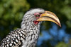 Yellow-billed Hornbill Closeup