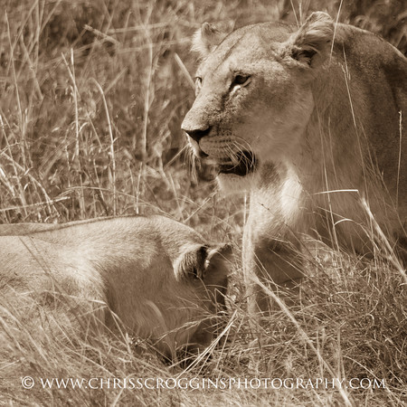 Two Lioness in Kenya.  Square Format.
