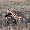 Gotcha!  Striped Hyena Mother Playing with Cub.