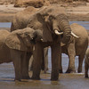 Elephants drinking at Uaso Nyiro River. Samburu, Kenya.
